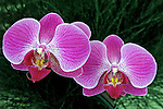 Flores. Orquídea vanda ( Vanda coerulea). SP. Foto de Manuel Lourenço.