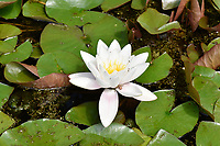 White water-lily - Nymphaea alba