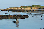 elephant seals at Bight Beach in morning at Ano Nuevo State Reserve