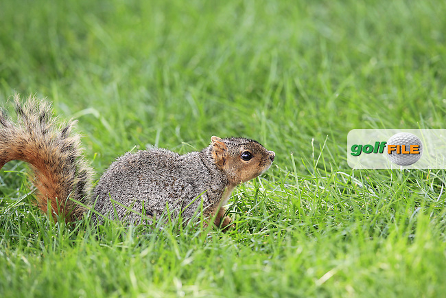Resident squirrel on the 10th hole during Sunday's Final Round of the WGC Bridgestone Invitational, held at the Firestone Country Club, Akron, Ohio.: Picture Eoin Clarke, www.golffile.ie: 3rd August 2014