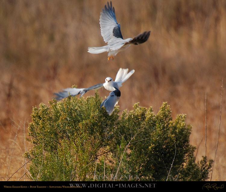White-Tailed Kites, Bush Takeoff, Sepulveda Wildlife Refuge, Southern California