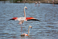 France/13/Bouches du Rhone/Camargue/Parc Naturel Régionnal de Camargue/Saintes Maries de la Mer: Flamant rose au Parc ornithologique du Pont de Gau