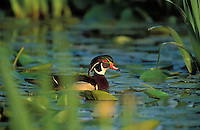 Wood Duck drake in yellow iris pond.. British Columbia, Canada..(Aix sponsa).