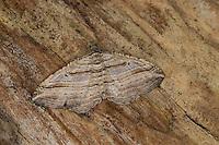 Viellinien-Blattspanner, Viellinien-Labkrautspanner, Costaconvexa polygrammata, Cidaria polygrammata, Many-Lined Moth, Spanner, Geometridae, looper, loopers, geometer moths, geometer moth