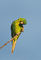566700071 a wild green parakeet aratinga holochlora perches and preens in a tall tree in laredo webb county texas north america