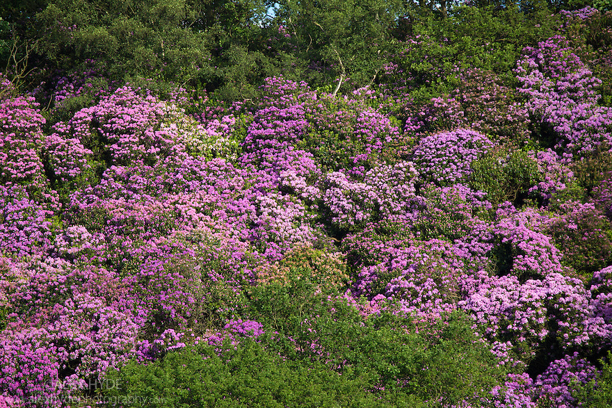 Rhododendron {Rhododendron ponticum} in flower. This is an invasive alien species to the UK. Peak District National Park, Derbyshire, UK. June.