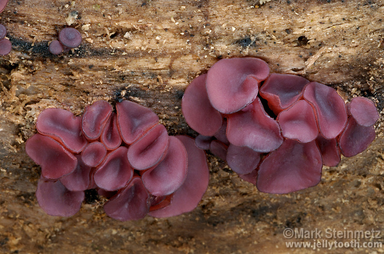 Tiny purple cup ascomycetes (Ascocoryne sp.) on rotting American Beech. Flint Ridge State Memorial, Ohio, USA.