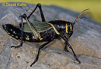 i0913-0817  Adult Horse Lubber Grasshopper - Taeniopoda eques © David Kuhn/Dwight Kuhn Photography.