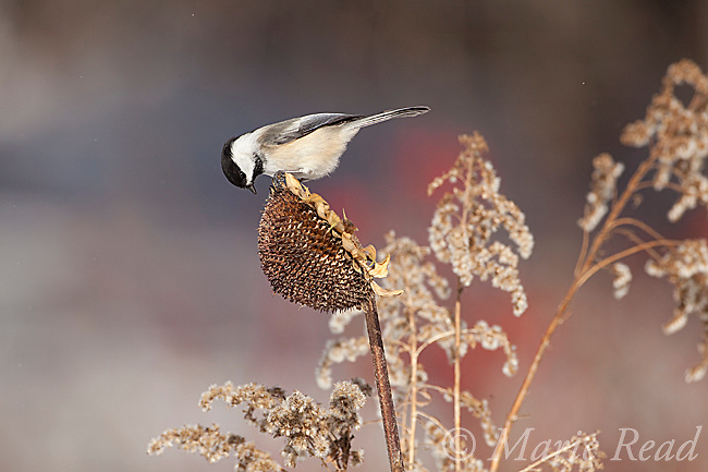 Black-capped Chickadee (Poecile atricapilla) attracted to feed from sunflower seedhead in winter, New York, USA