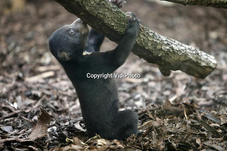 Foto: VidiPhoto<br /> <br /> ARNHEM – De twee pasgeboren Maleise berenjongen van Burgers' Zoo in Arnhem zijn vrijdag aan het publiek getoond. Na een verblijf achter de schermen van ruim 2,5 maanden mochten ze voor het eerst naar hun definitieve verblijf. In de nacht van 6 op 7 mei zagen de twee beren het levenslicht: een Nederlandse primeur. In de Europese dierenparken die bij EAZA (European Association of Zoos and Aquaria) zijn aangesloten leven in totaal slechts 40 Maleise beren: 12 mannen, 26 vrouwen en de 2 berenwelpen in Arnhem, waarvan het geslacht nog onbekend is. De fok verloopt bovendien moeizaam vanwege het vrouwtjesoverschot, de vergrijzing binnen de dierentuinpopulatie en het tekort aan vruchtbare mannetjes. De geboorte is in Europa daarom met gejuich ontvangen.