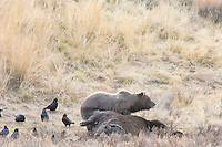 Large Grizzly Bear boar (Ursus arctos) feeding on bison with common ravens.  Yellowstone. Fall