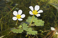 POND WATER-CROWFOOT Ranunculus peltatus (Ranunculaceae) Floating. Annual or perennial of ponds, lakes and other areas of still water. FLOWERS are 15-30mm across with 5 white petals (May-Aug). FRUITS are borne in rounded, long-stalked heads. LEAVES comprise lobed and rounded floating leaves and short, rigid and thread-like submerged ones. STATUS-Widespread and common throughout.