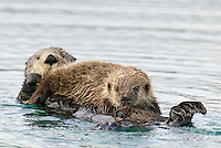 Sea Otters (Enhydra lutris)--pup is nursing.