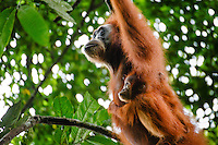 A Sumatran orangutan (Pongo abelii) mother and child swing between trees in Gunung Leuser National Park in Northern Sumatra.