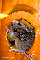 MU59-018z   White-Footed Mouse - on Jack-o-lantern -  Peromyscus leucopus