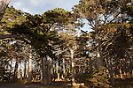 """Cypress Forrest"" 17 Mile Dr in Pebble Beach, California.The Cypress Trees located on 17 Mile Drive in Pebble Beach along the Coast of the Pacific Ocean are impressive to say the least."