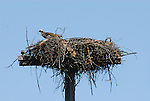 osprey on platform nest