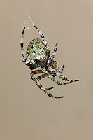 Female Giant Lichen Orbweaver (Araneus bicentenarius), Great Smoky Mountains National Park