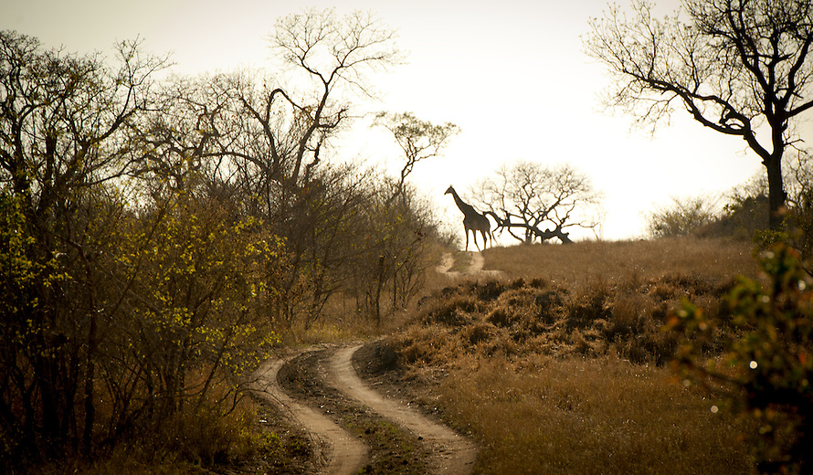 A common sight in this part of South Africa, giraffe thrive in this mixed Woodland. A little known fact is that giraffe will often chew on bones for additional calcium – an odd sight to say the least.