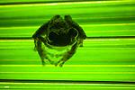 Green-eyed treefrog (Litoria genimaculata) on a leaf