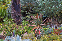 Succulent patterns in garden bed with Palms, Aloe ferox, and Aloe kedongensis hybrid (on left), Aloe Ruth Bancroft Garden