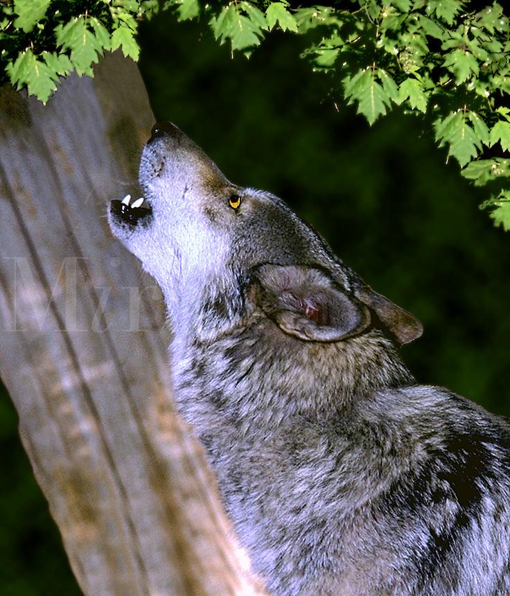 Grey Wolf (captive) howling. Utah.