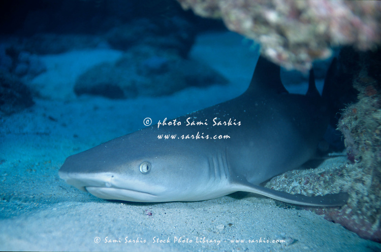 Whitetip Reef Shark (Triaenodon obesus) lying on the sandy ocean floor below Boulari Channel, Noumea Lagoon, New Caledonia.