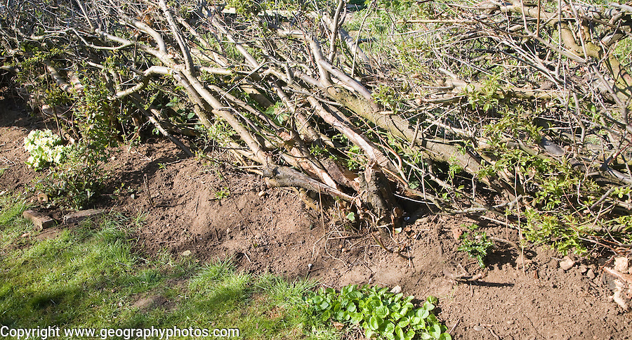 Hedge laying to renew old hedgerow, Suffolk, England