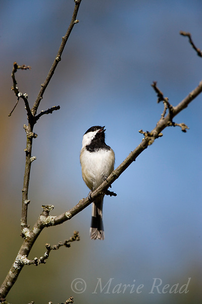 Black-capped Chickadee (Poecile atricapilla) singing in spring, New York, USA