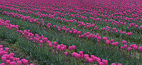 Tulip Festival, Skagit Valley, Washington