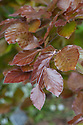 New-season copper beech foliage (Fagus sylvatica 'Dawyck Purple'), mid May.