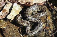 Vipernnatter, Vipern-Natter, Natter, Natrix maura, Viperine Snake