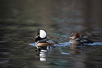 Hooded Mergansers (Lophodytes cucullatus), male and female, Pacific Northwest