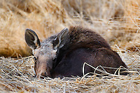Young moose bedded down on some dry grass