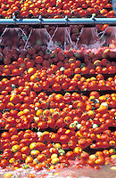 tomato processing California