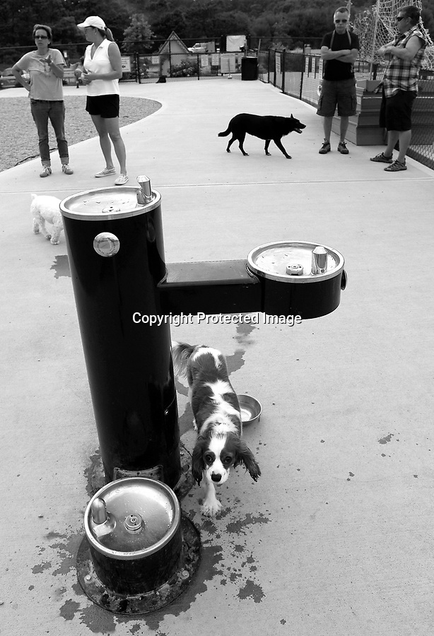 King Charles Spaniel, Dudley, walks over to the high end dog water fountain at the Provincetown dog park in Provincetown, MA. Provincetown was recently voted most dog-friendly town in the U.S.A.  by Dog Fancy Magazine. 8/6/10 Julia Cumes