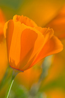 California Poppies (Eschscholzia californica). California.  Spring.