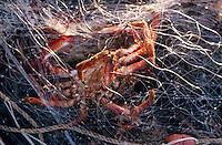 Europe/France/Pays de la Loire/85/Vendée/Ile d'Yeu/Port-Joinville: A la pche aux araignées avec Marc Turbe (pêcheur, AUTORISATION N°268)