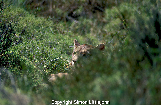 Totally wild  Patagonian Puma resting on ground behind shrubs.Torres del Paine National Park, Chile.