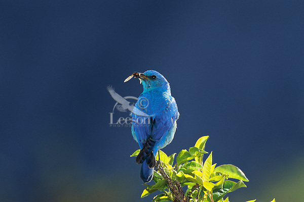 Male Mountain Bluebird (Sialia currucoides) with insect..Western U.S.