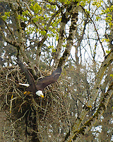 An adult Bald Eagle (Haliaeetus leucocephalus) has it's wings spread as it drops out of it's large nest with a small chick barely seen in the nest among the tall trees in the Ridgefield National Wildlife Refuge