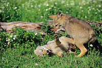 Coyote (Canis latrans) pups at play.