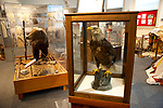 Taxidermied bald eagle and grizzly bear at the Historical Museum in Kalsipell, Montana