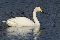 Whooper Swan Cygnus cygnus L 150-160cm. Similar to Mute Swan but separable using bill shape and colour. Typically holds neck straight, not curved. Seen in medium-sized flocks comprising several family groups. Sexes are similar. Adult has mainly pure white plumage although head and upper neck is sometimes stained orange. Bill is triangular and rather long, with yellow patch that extends beyond nostril. Juvenile has grubby buffish grey plumage and dark-tipped pale pink bill. Voice Utters loud, bugling calls. Status Handful of pairs breed here each year, but best known as a winter visitor; several thousand present Oct-Mar.