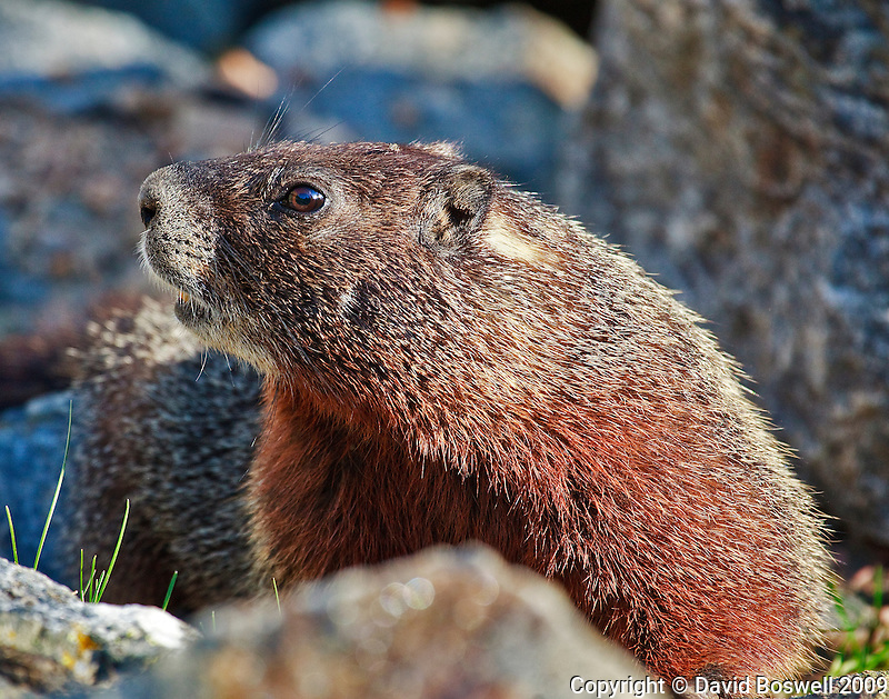 A marmot posing for the photographer in Death Canyon, Grand Teton National Park.