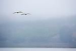Brown Pelican (Pelecanus occidentalis) with juvenile flying over slough, Elkhorn Slough, Monterey Bay, California