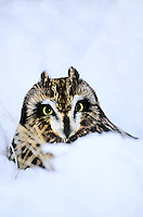 564180006 a wildlife rescue short-eared owl asio flammeus sits in a snow bank in central colorado united states