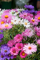 Aster novae-angliae mixed mixture variety of New England asters colors cultivars together in autumn fall blooming perennial