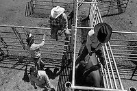 Cowboys get bulls ready for the bullriding competition at the annual Lincoln Rodeo in Lincoln, MT in June 2006.  The Lincoln Rodeo is an open rodeo, which means competitors need not be a member of a professional rodeo association.