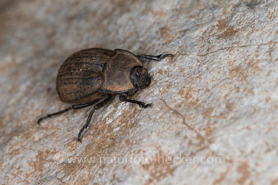 Staubkäfer, Asida spec., Schwarzkäfer, Tenebrionidae, darkling beetles. Süd-Frankreich